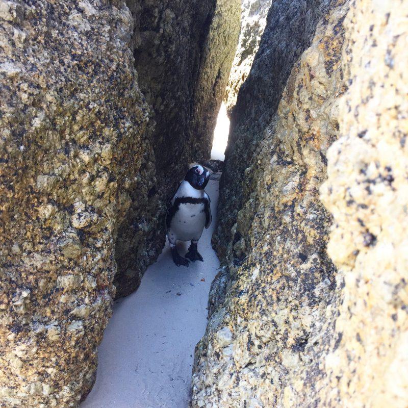Simons Town_Pinguin Kolonie