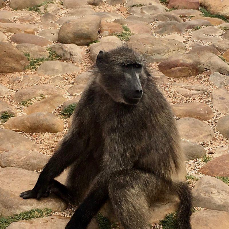 Paviane am Kap der guten Hoffnung_Südafrika