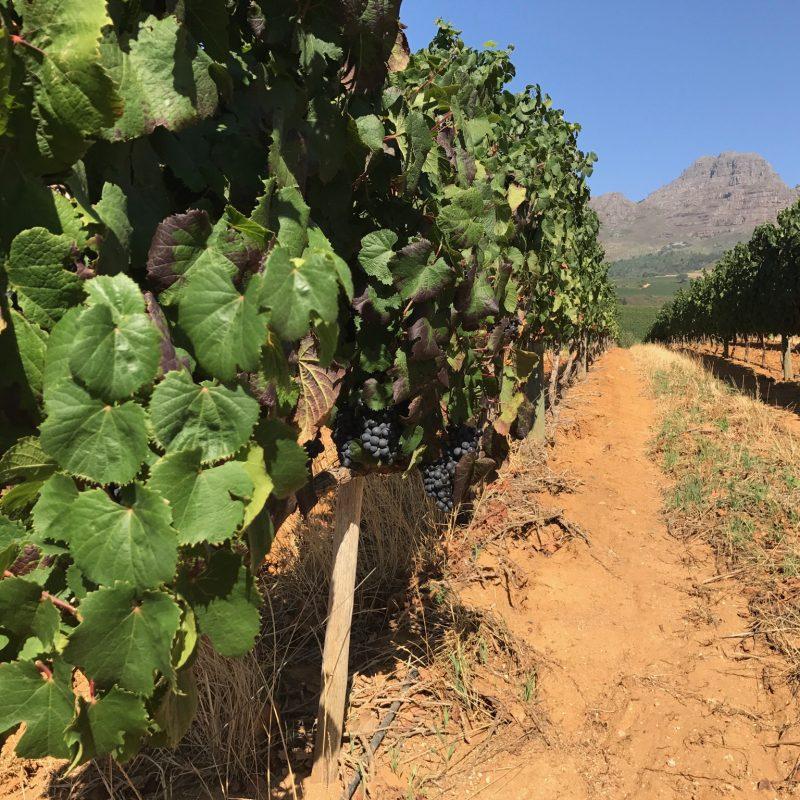Weinregion_Stellenbosch_Weingut